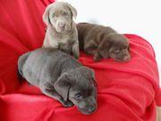 prächtiger Labradorwelpe