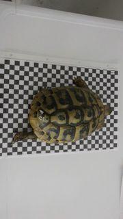 Griechische Landschildkröten THB Zuchtpaar Weibchen