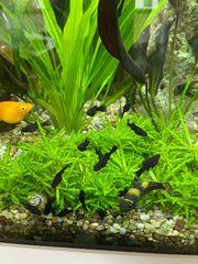 Black mollys