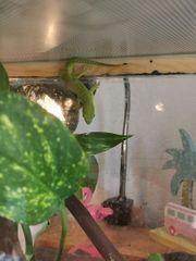 Nachwuchs Madagaskar Taggecko