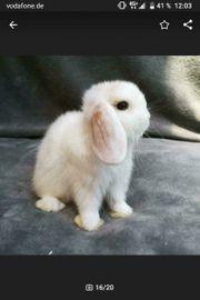 Tolle weiße Mini Lop Kaninchen