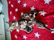 Zuckersüße Bengal kitten