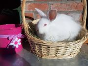 Satin Angora Kaninchen Böckchen 12
