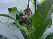 Kronengecko Nachwuchs Correlophus Ciliatus Babys