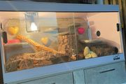 Terrarium mit leopardgecko weiblich