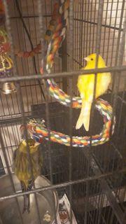 Kanarienvogel 1 0