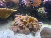 Korallenableger Meerwasser Anemone