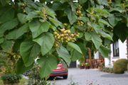 Eigene Zucht - Paulownia Baum Blauglockenbaum