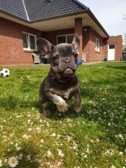 Französische Bulldogge Welpe sucht ein