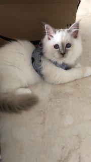 Reinrassige Katze mit Stammbaum