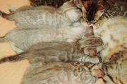 wunderschöne Bengal Kitten