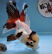 KOI 13 Anz 55 2020 Goldfisch -