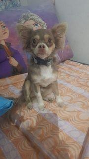chihuahua weibchen