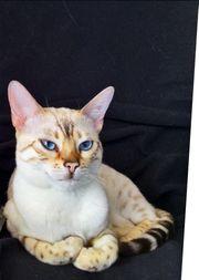 Hilfe unsere weiße Bengalkatze ist