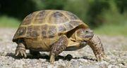 Adulte weibliche Vierzehenlandschildkröten gesucht