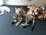 Bengalkatze Malia sucht ein Zuhause