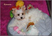 kleines Golddust Yorkshire Terrier Mädchen