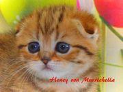 Wunderschöne Scottish Fold Kitten Mädchen