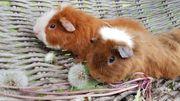 2 Süße kleine Teddy Meerschweinchen