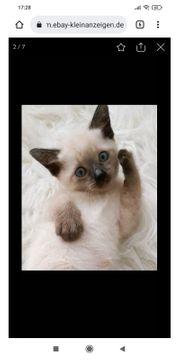 Reinrassige Siam-Thai Kitten siam alter