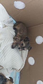 Hunde Welpen Yorkshire Terrier Malteser