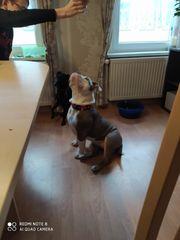Old english Bulldog Hündin