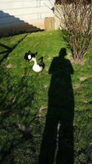 Hochbrutflugenten Paar