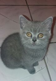BKH Katzenbaby