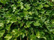 Efeu Pflanze Efeu Busch
