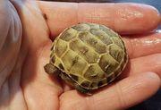 Steppenschildkröten Russische Vierzehen-Landschildkröten NZ 2021
