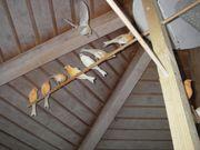 Wunderhübsche Kanarienvögel von
