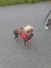 Mini Chinesischer schopfhund