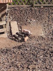 5 microschweine zu verkaufen