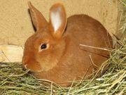 Sachsengold Jungtiere Kaninchen Hasen
