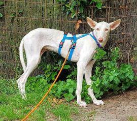ATROPINA ein Traum in weiß: Kleinanzeigen aus Bleckede - Rubrik Hunde
