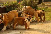 Kompakte Englische Bulldoggen Welpen