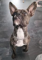 Französische bulldogge-Old EnglischBulldogg