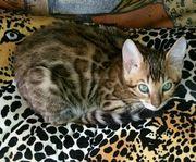 Bengal Kitten reinrassig