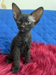 Süße Don Sphynx Kitten in