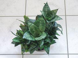 Pflanzen - Zimmerpflanze Grünpflanze