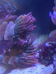 Entacmaea Quadricolor Sunburst Anemone