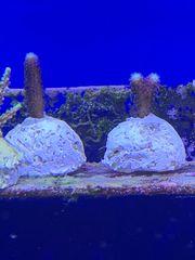 Korallen Ableger diverse Arten