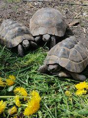 Weiblich maurische Landschildkröten adult