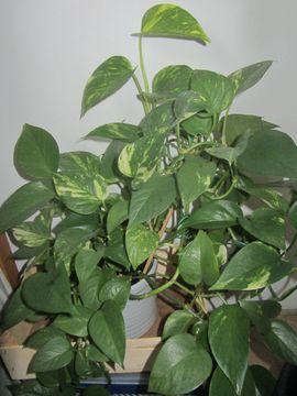 Pflanzen - Ficus Alii Efeutute Fensterpflanze Ufopflanze
