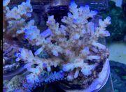 SPS Korallen Rhein-Main update 08