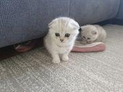Bkh kitten Katzenbabys silver shaded