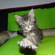 Traumhafte Maine Coon Kitten - total
