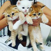 Scotish fould scotisch straight kitten