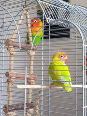 Vogelkäfig mit Agaporniden