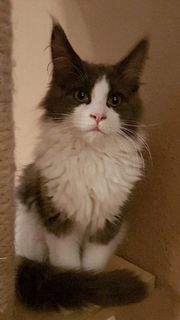 Tolles Maine Coon